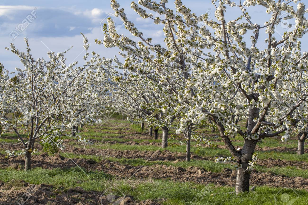 Foto Di Alberi Da Frutto giardino con molti alberi giovani di ciliegio. la molla è diventato e gli  alberi da frutto sono in fiore nel frutteto. esse sono disposte in file.