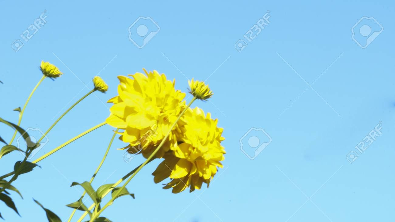 Yellow Flowers Rudbeckia Golden Ball On A Blue Background