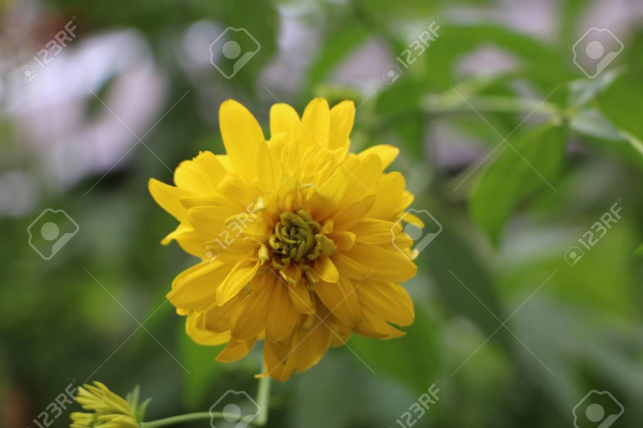 Summer background beautiful bright yellow flowers with gentle stock photo summer background beautiful bright yellow flowers with gentle petals golden balls rudbeckia mightylinksfo