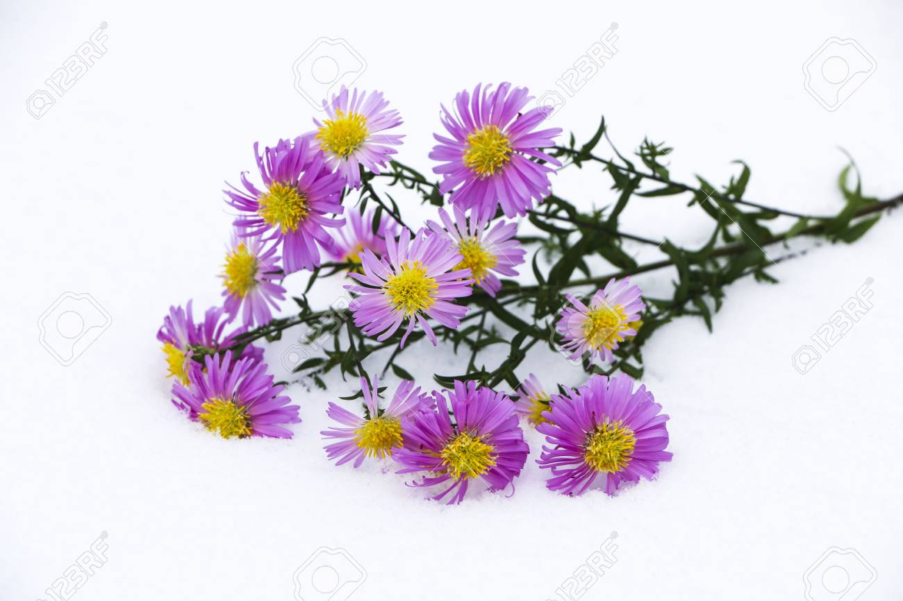 Shrub Aster With Pink Flowers Lies On White Fragile Fluffy Snow