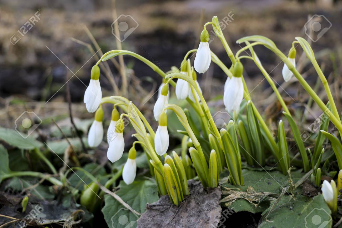 Snowdrop Flowers In Morning Soft Focus First Spring Flowers