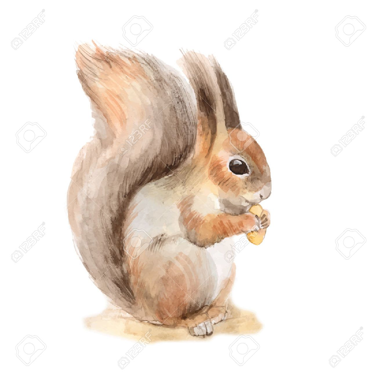 Squirrel with a nut. Hand drawn. Watercolor illustration in vector - 50573457