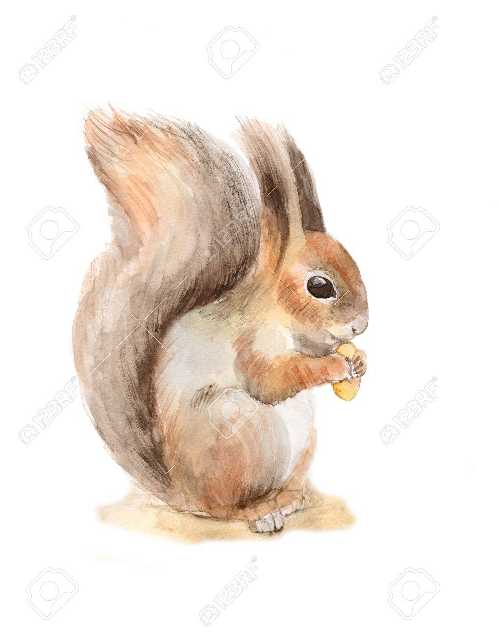 Squirrel with a nut. Watercolor illustration - 50573458