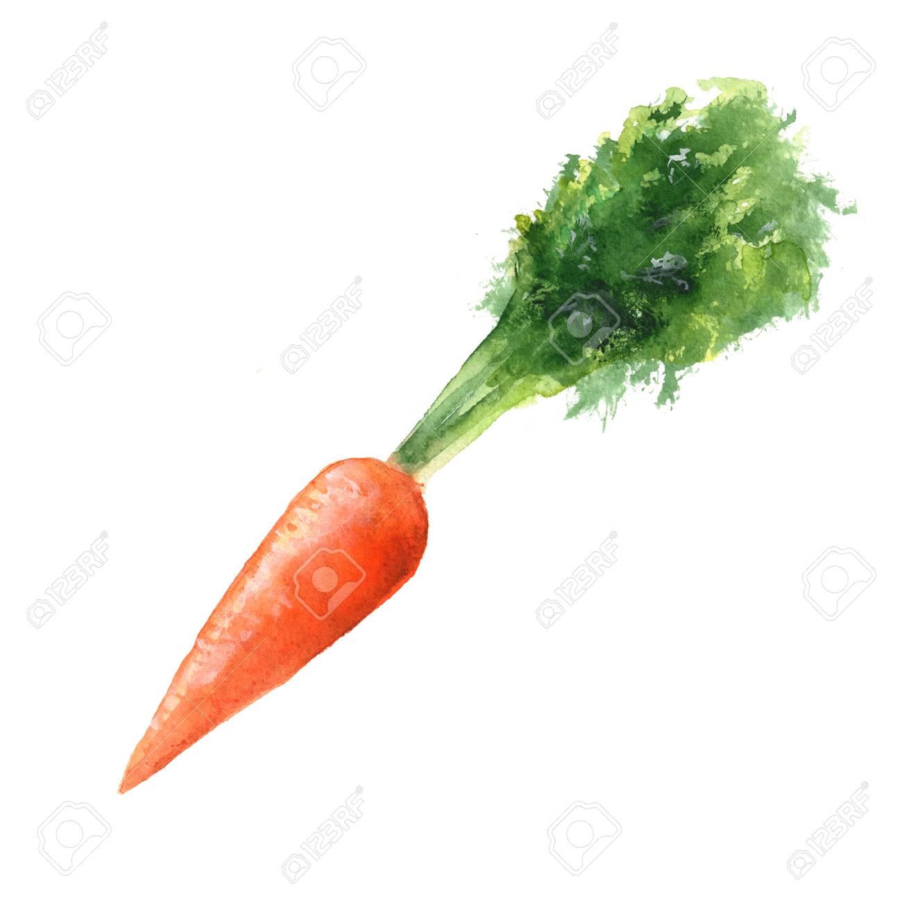 Carrots Watercolor Illustration Of A Carrot Stock Photo Picture And Royalty Free Image Image 57682024 ⭐ ¿es posible aunque nuestro protagonista de hoy será la zanahoria, os dejo por aquí algunas fotos para que lo. carrots watercolor illustration of a carrot