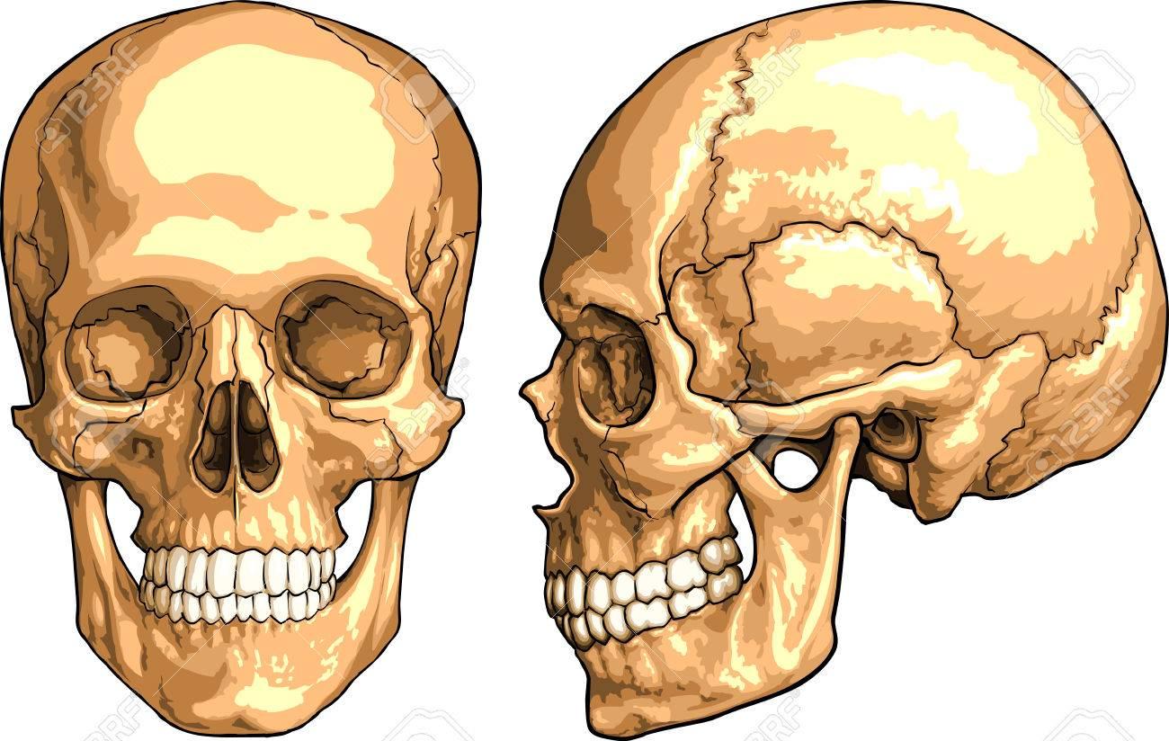 Human Anatomy Skull Pictures Skull Skull Human Anatomy