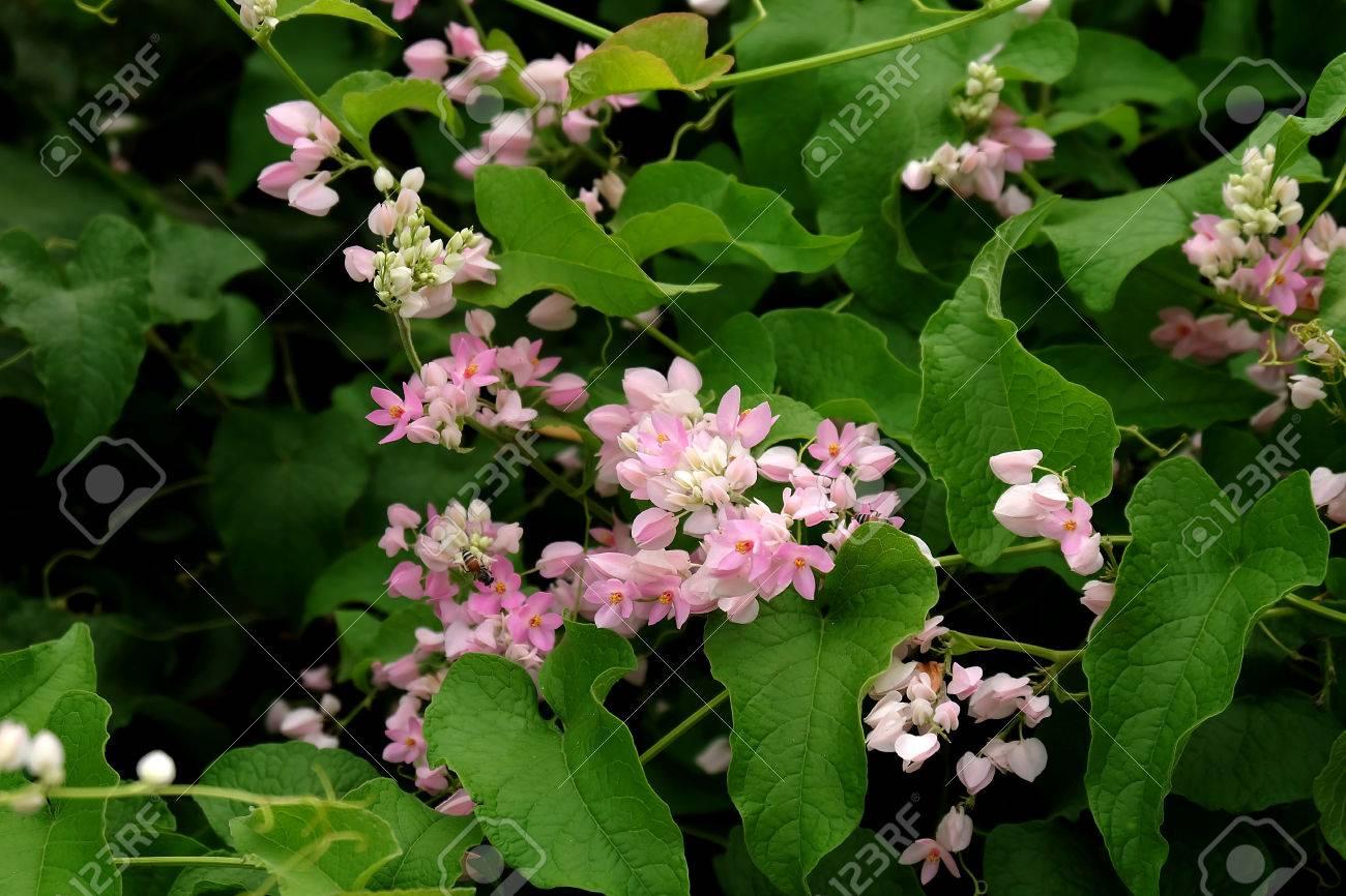 Beautiful pink flowers in the garden coral vine or antigonon beautiful pink flowers in the garden coral vine or antigonon leptopus hook stock photo mightylinksfo