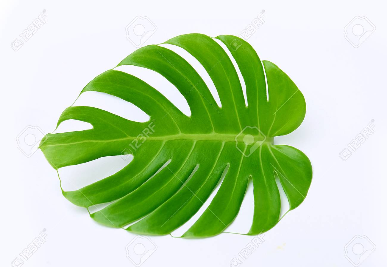 Artificial cheese plant leaves