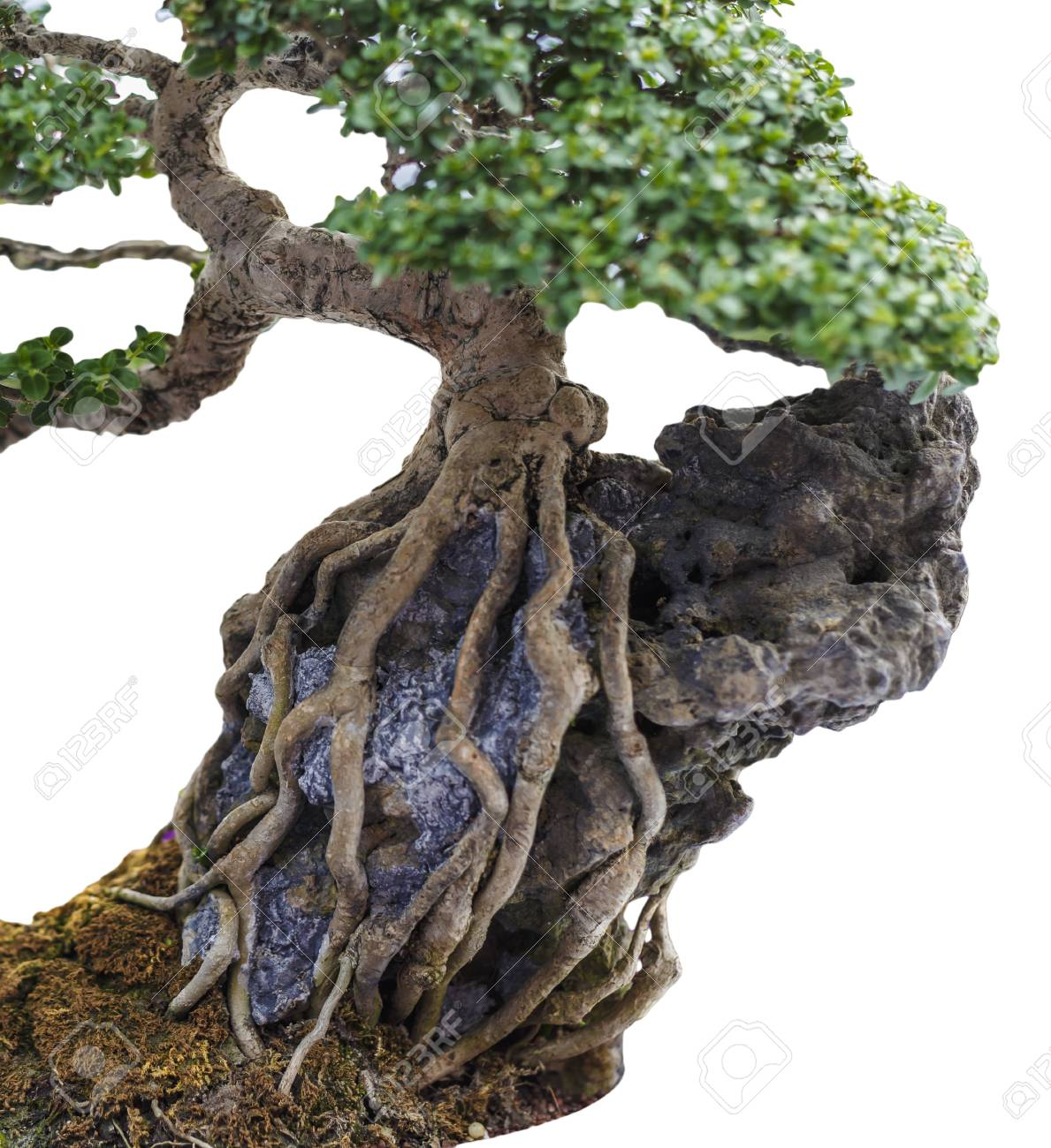 Close Up Of A Knobby Trunk Of An Old Snowrose Bonsai Tree Stock Photo Picture And Royalty Free Image Image 64643540