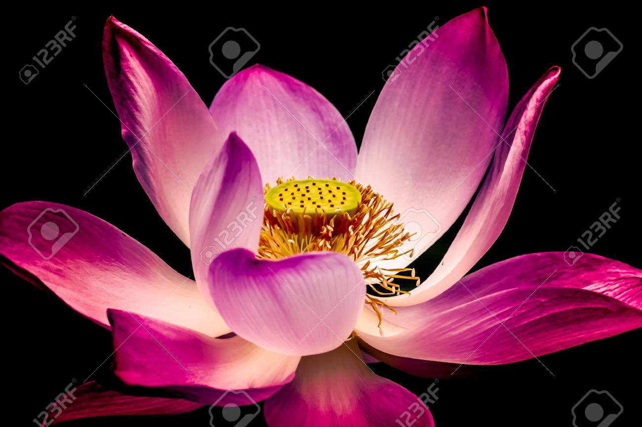 Beautiful lotus flower is complimented by the rich colors of stock beautiful lotus flower is complimented by the rich colors of the deep water surface stock photo izmirmasajfo