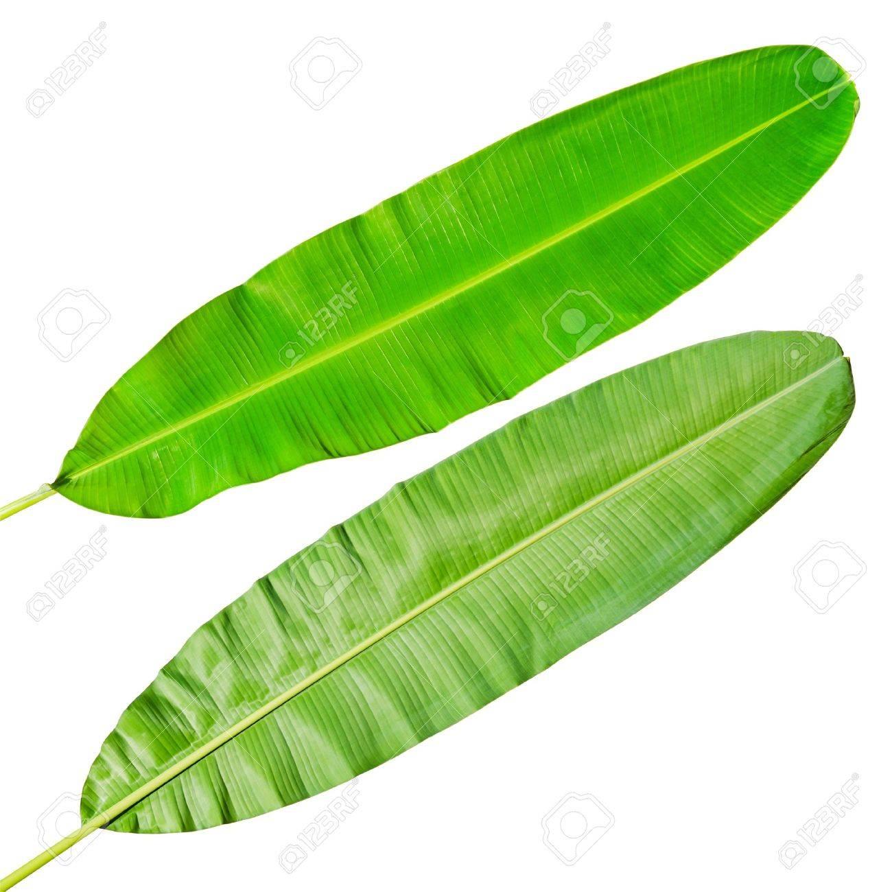 Green fresh banana leaf Stock Photo - 13811687