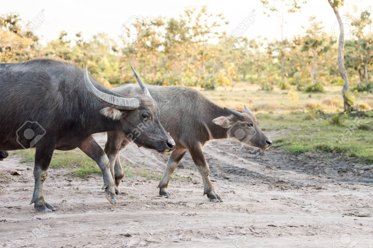 1623aa2742f Water Buffalo Is Going Back To The Corral Stock Photo, Picture And ...