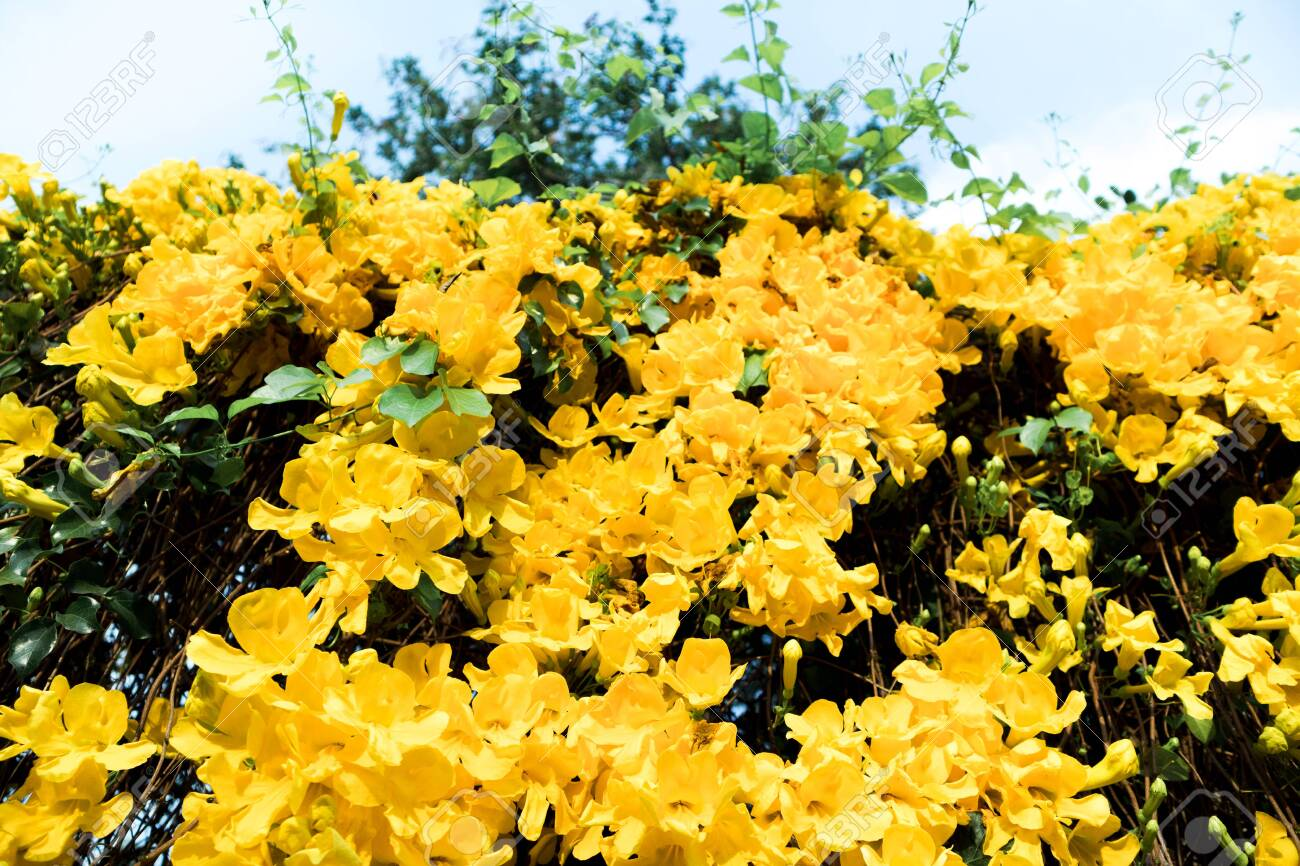 Look Up Shot Of Beautiful Yellow Flowers Cat S Claw Creeper Plants
