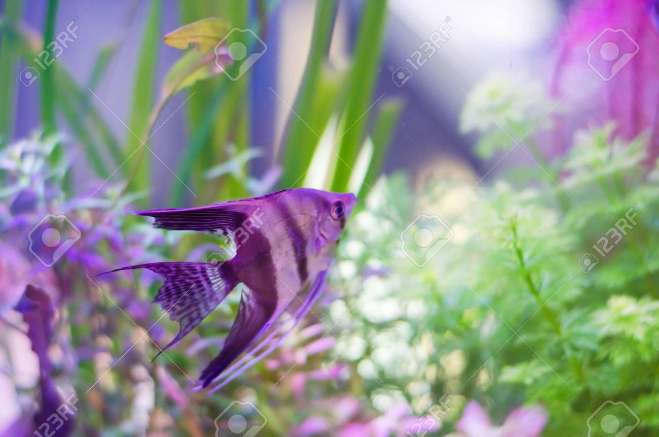 pterophyllum scalare fish in aquarium Stock Photo - 23389541