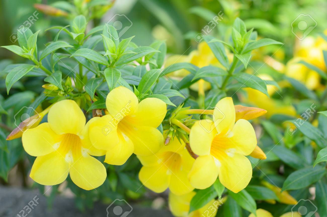 Beautiful yellow flower golden trumpet vine yellow bell allamanda beautiful yellow flower golden trumpet vine yellow bell allamanda cathartica stock photo mightylinksfo