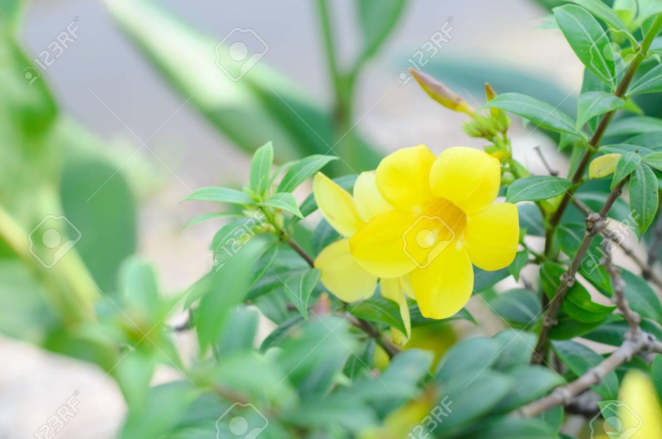 Beautiful Yellow Flower Golden Trumpet Vine Yellow Bell Allamanda