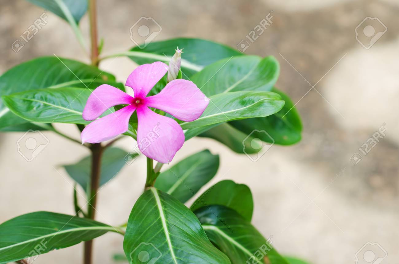 Pink Periwinkle Flower Against A Natural Backgroundcatharanthus