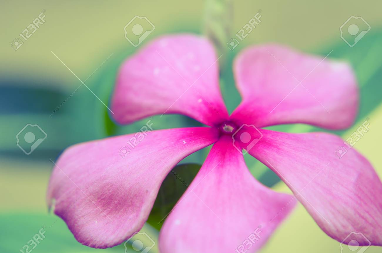 Pink Periwinkle Flower Against A Natural Background In Retro Stock