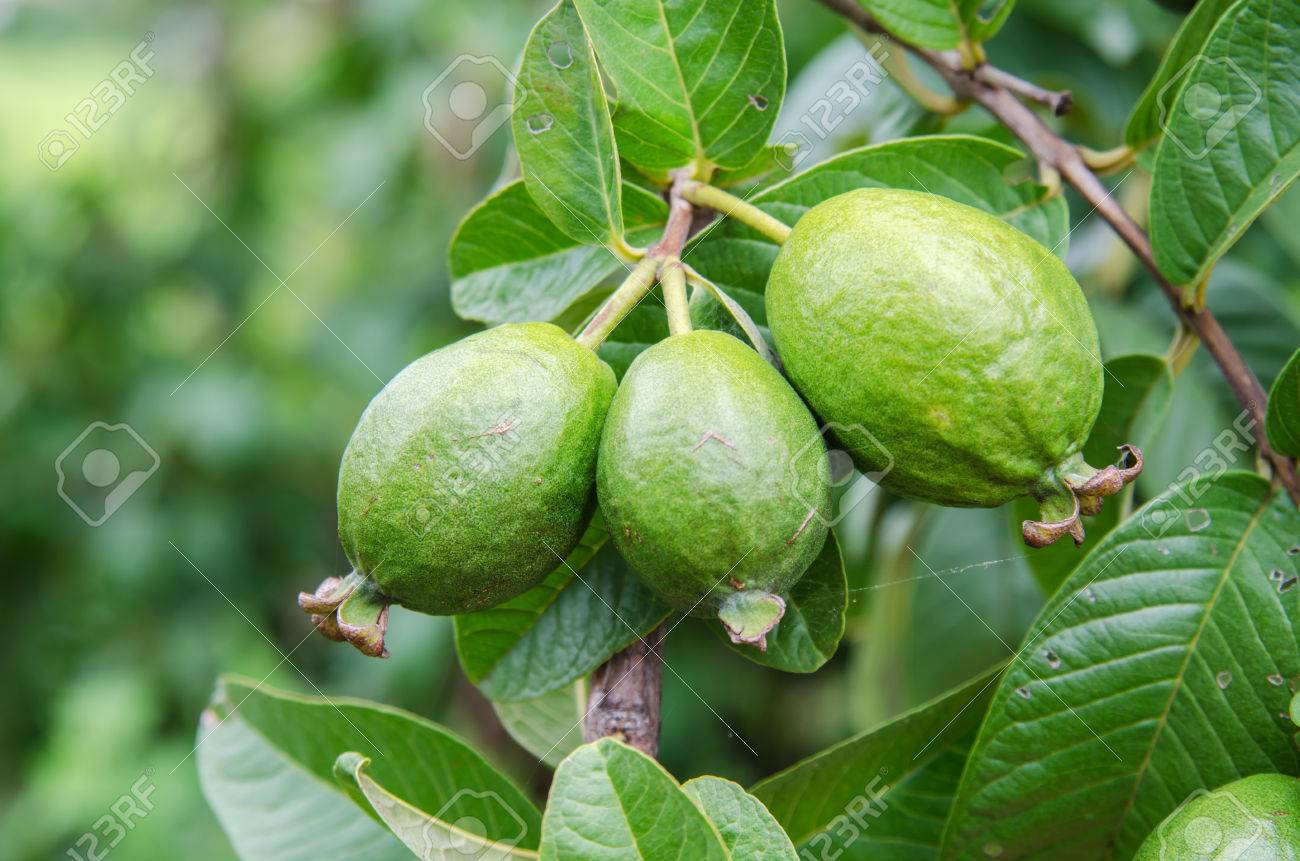 Guava Fruit Tree Images