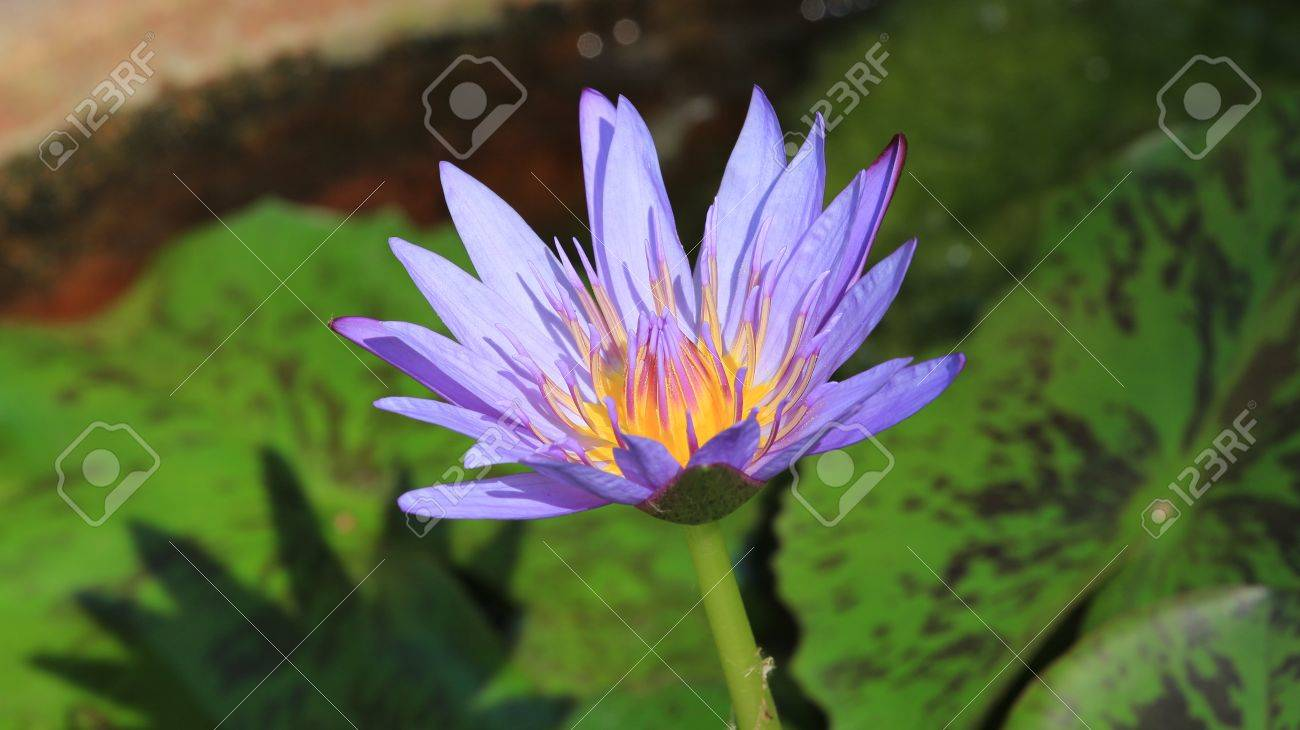 Purple Lotus Flower Opened On A Pond With Yellow Center Stock Photo