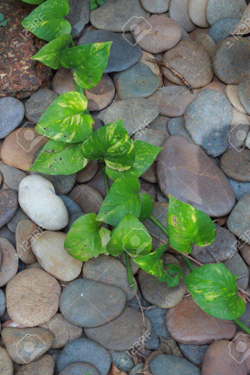Great Round Rock Garden With Green Ivy Leaves Stock Photo   16010750