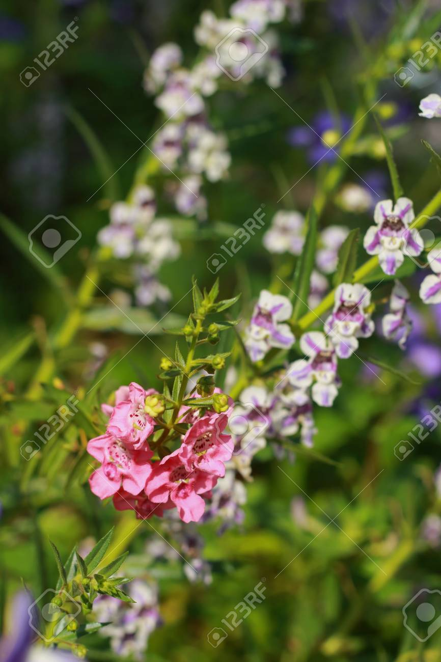 Forget Me Not Pink Flowers Stock Photo Picture And Royalty Free