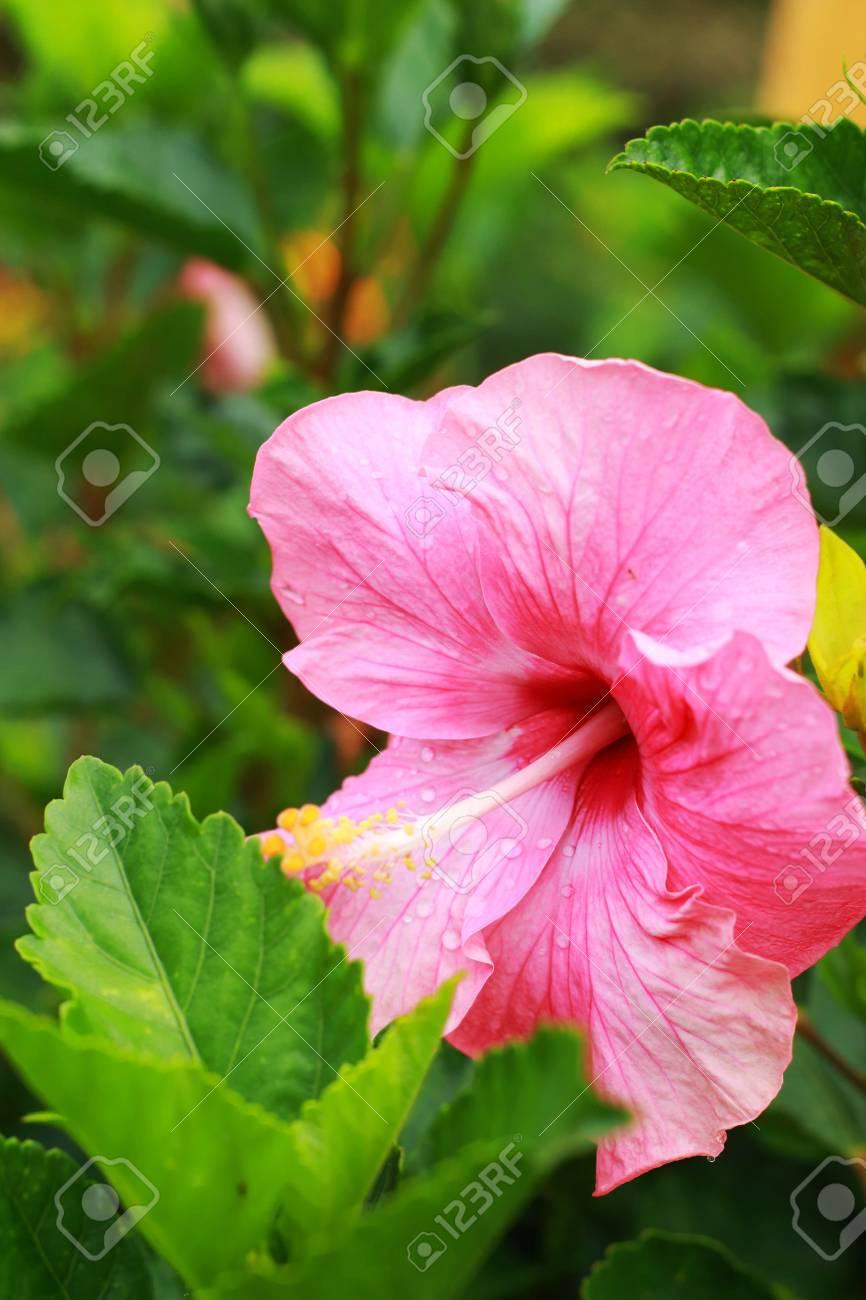 Flower Pink Hibiscus Flower