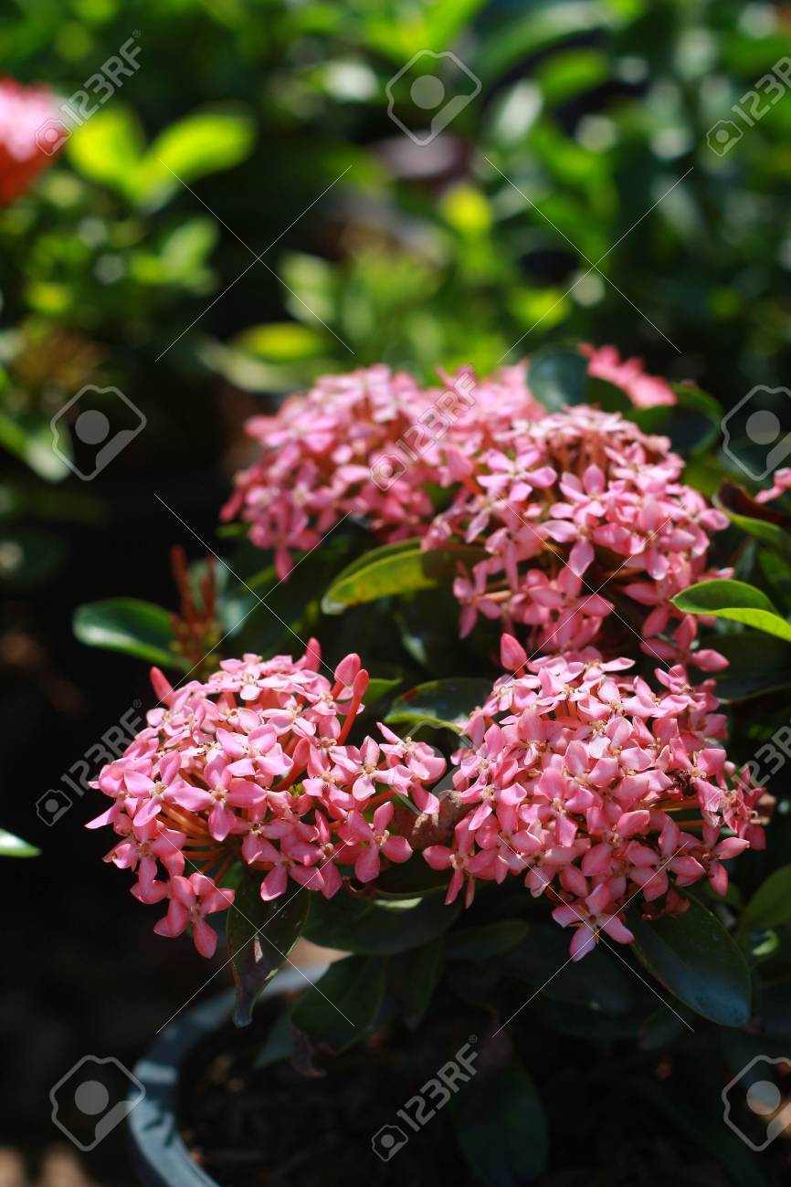 West Indian Jasmine Pink Flowers Stock Photo Picture And Royalty