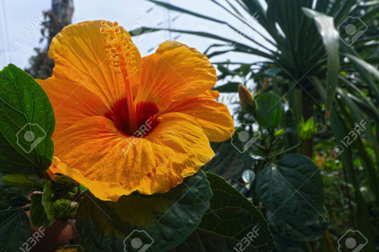 Hibiscus Flowers Yellow Flower In The Nature Stock Photo Picture