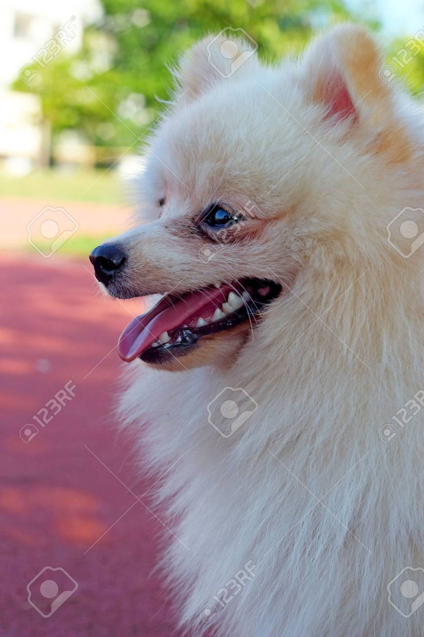 White Pomeranian Dog Eat Water Stock Photo Picture And Royalty Free