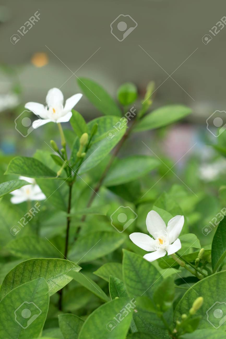Jasmine White Flowers Stock Photo Picture And Royalty Free Image