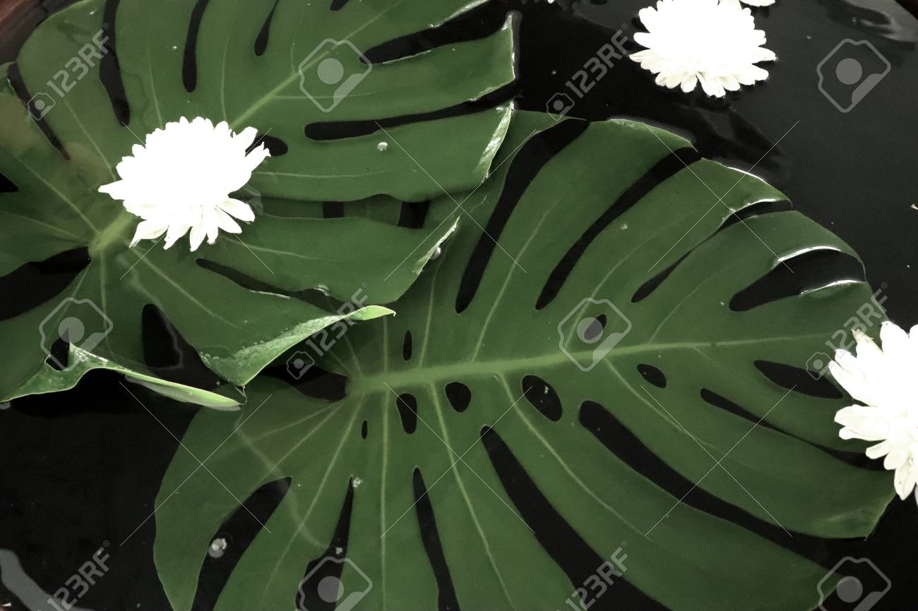 Chrysanthemum White Float Water Stock Photo Picture And Royalty
