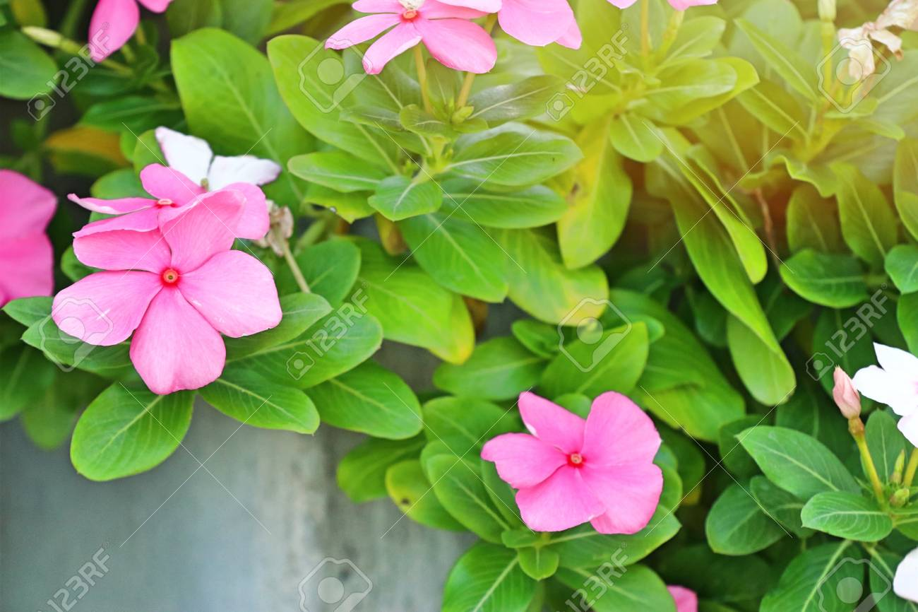 vinca flowers in tropical stock photo picture and royalty free