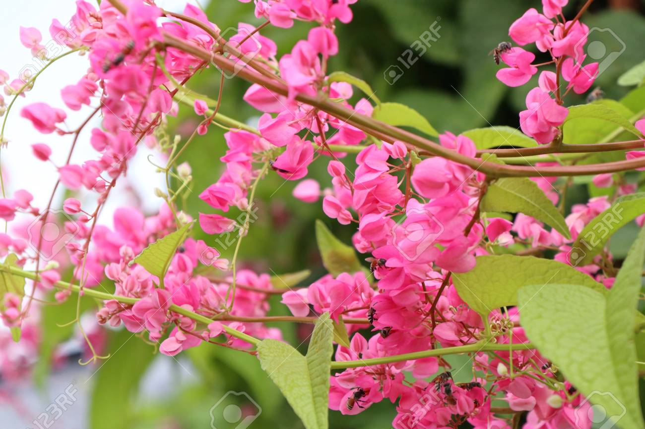 Pink Vine Flowers In Tropical Stock Photo Picture And Royalty Free