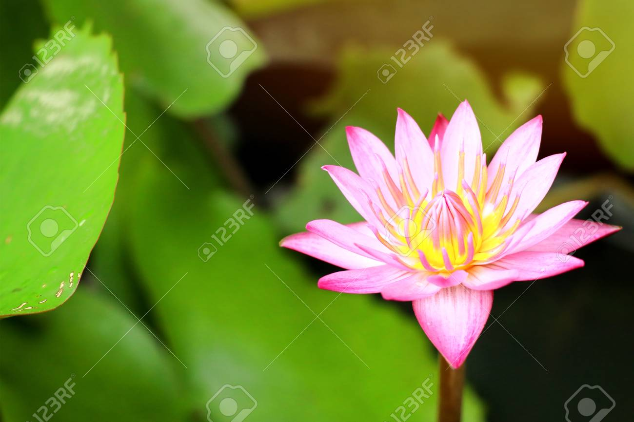 Beautiful Lotus Flowers In Tropical Stock Photo Picture And Royalty