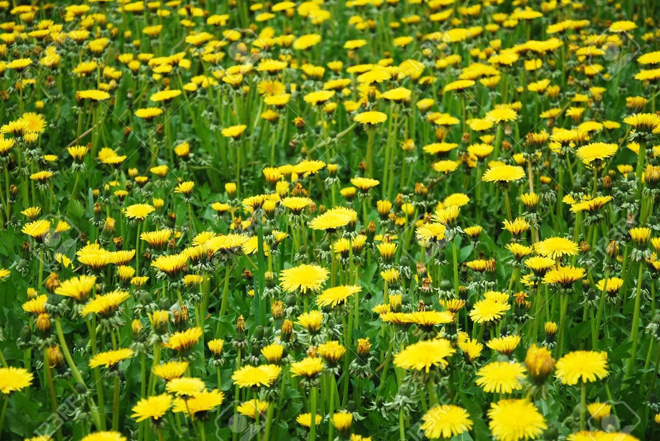 Huflattich Medizinische Erste Blume Auf Fruhling Lizenzfreie Fotos