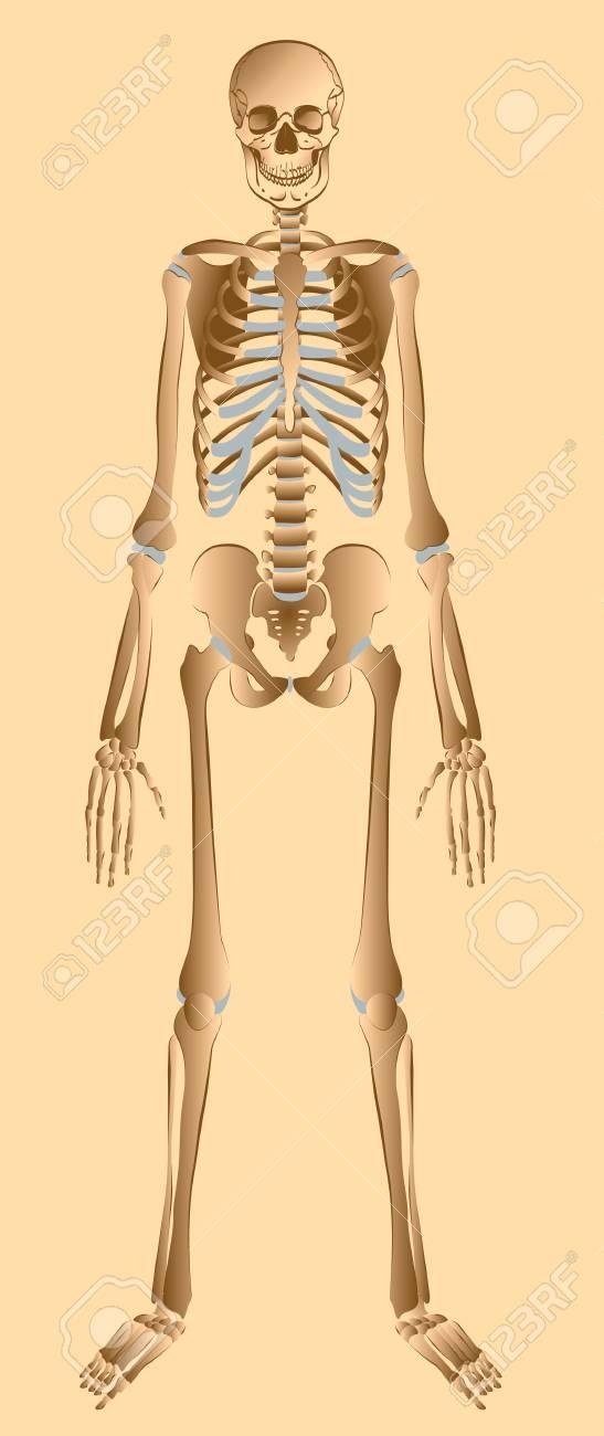 Illustration of human skeleton front view Stock Illustration - 14123109