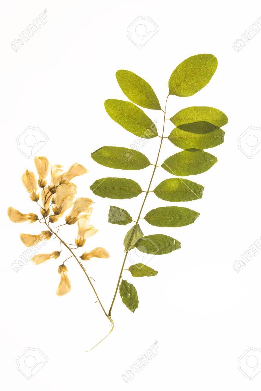 https://previews.123rf.com/images/okolaa/okolaa1603/okolaa160300040/54832472-verlichte-herbarium-acacia-bladeren-en-bloemen-ge%C3%AFsoleerd-op-een-witte-achtergrond-.jpg