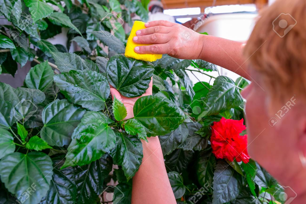 Household Concept Of Takes Care Of Indoor Plants Adult Female