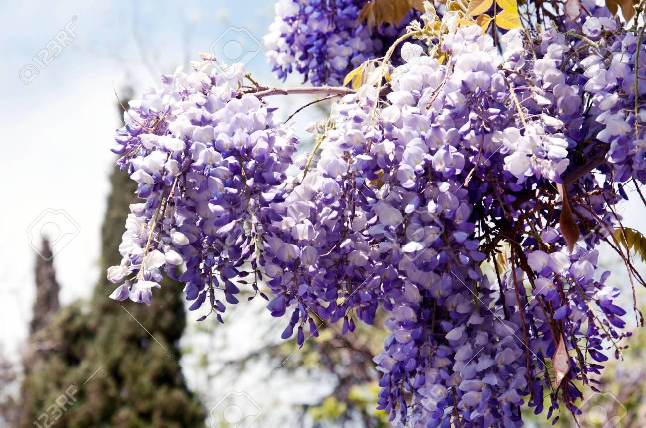 Lush Flowering Wisteria In The Spring Garden Purple Wisteria