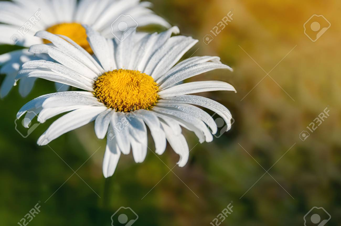 Background With Flower White Large Daisy With Place For Your Stock