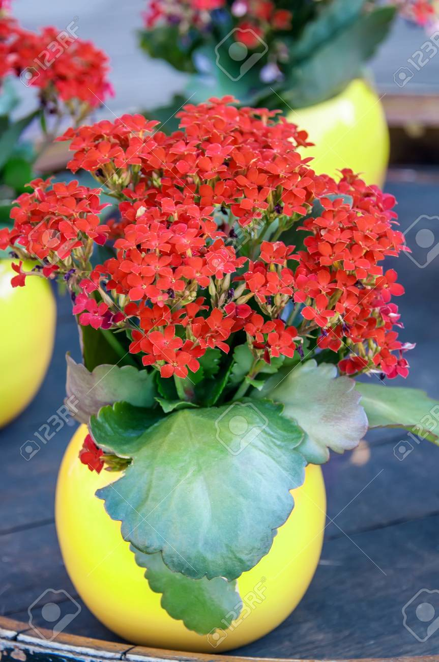 Red Kalanchoe Plant With Small Flowers In A Round Yellow Vase
