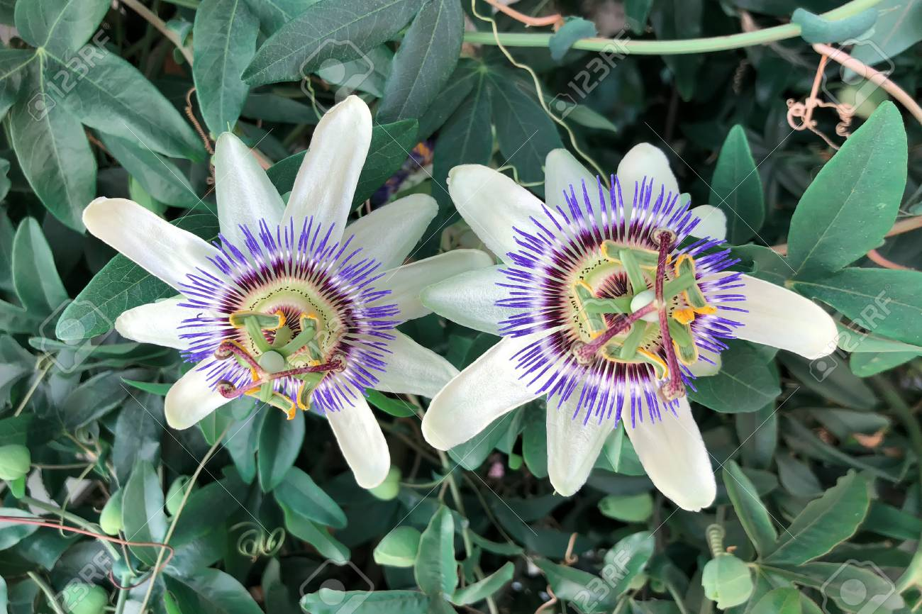 Varieties Of Passiflora Lady Margaret A Flower Amid The Tropical