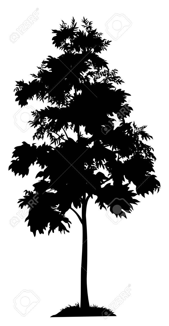 Acacia tree with leaves and
