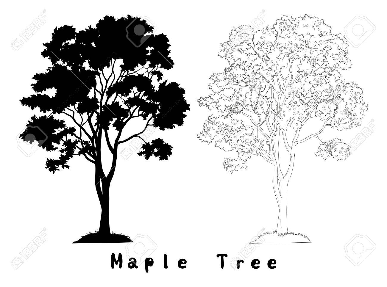 Maple Tree with Leaves and Grass Black Silhouette, Contours and Inscriptions Isolated on White Background. Vector - 38675032
