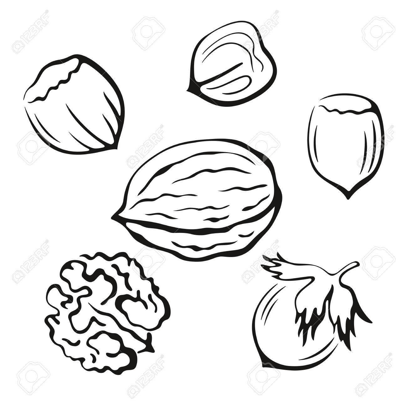 Nuts Set, Walnut and Hazel Monochrome Black Pictograms Icons Isolated on White Background. Vector - 49892818