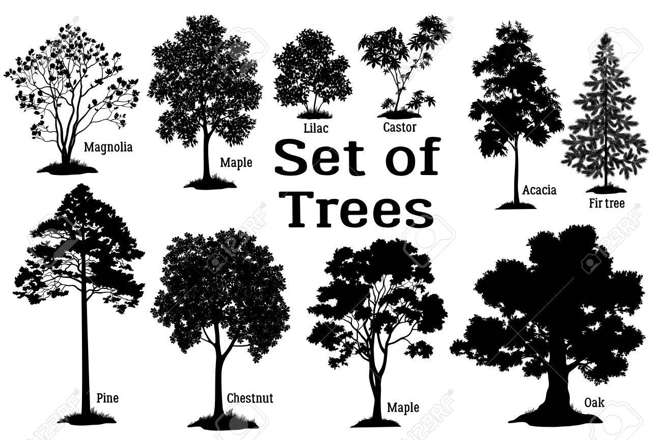 Set Isolated on White Background Silhouettes Spring and Summer Plants, Trees and Bushes, Magnolia, Maple, Lilac, Castor, Acacia, Fir, Pine, Chestnut, Maple, Oak and Grass. Vector - 55393212