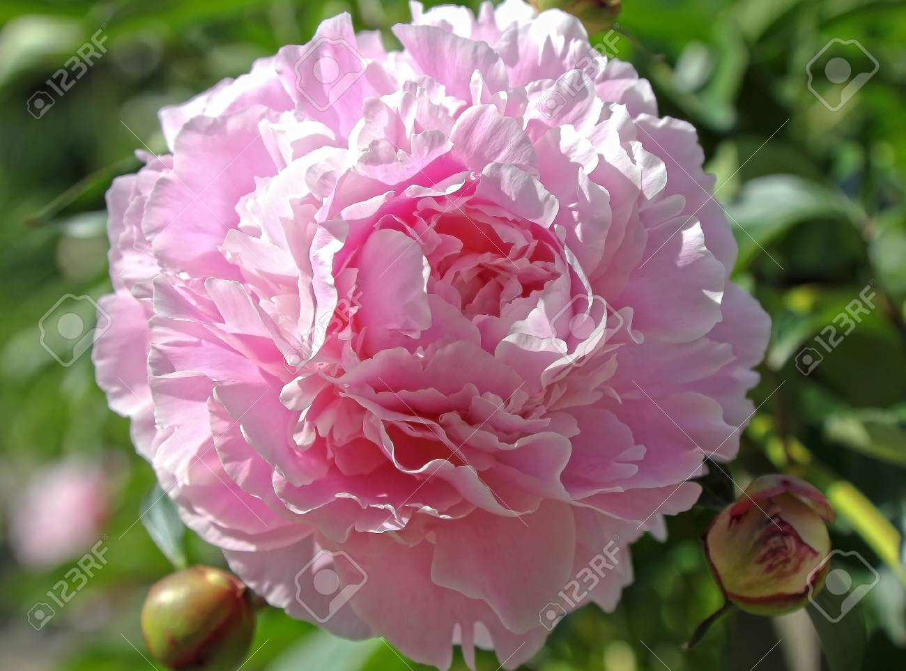 Pink peony Stock Photo - 15282527
