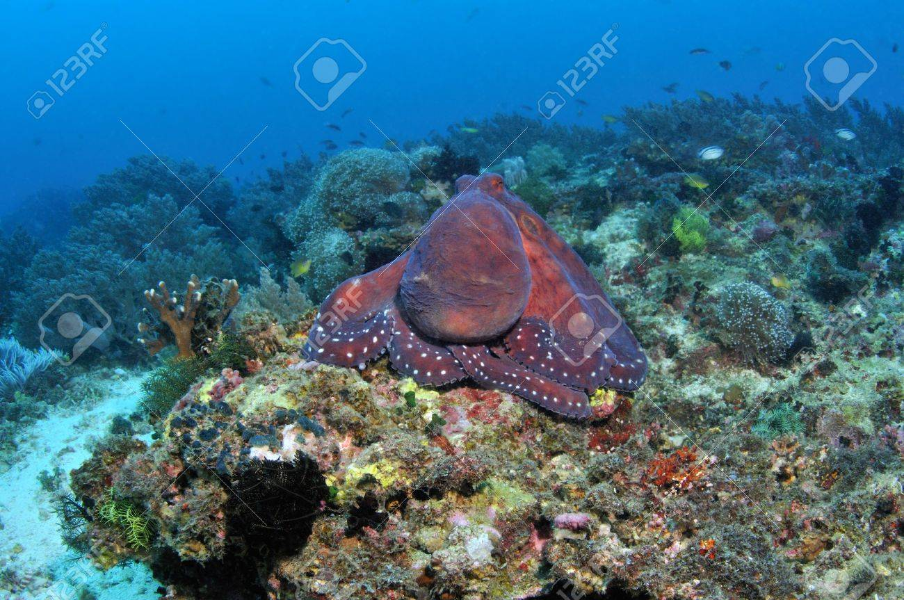 A huge octopus sitting on a coral reef, Snake Island, Pamilacan, Philippines Stock Photo - 17733594