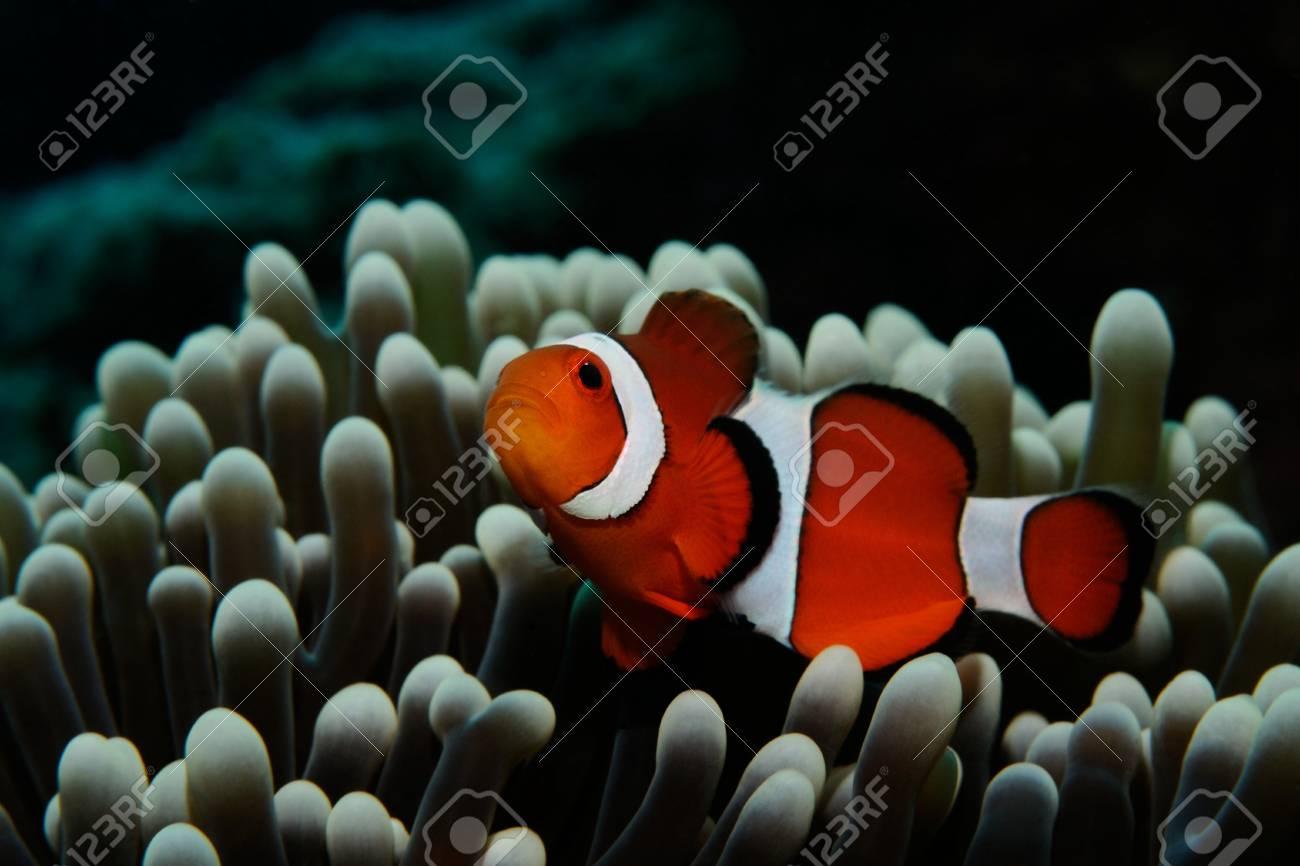Amphiprion (Western Clownfish (Ocellaris Clownfish, False Percula ...
