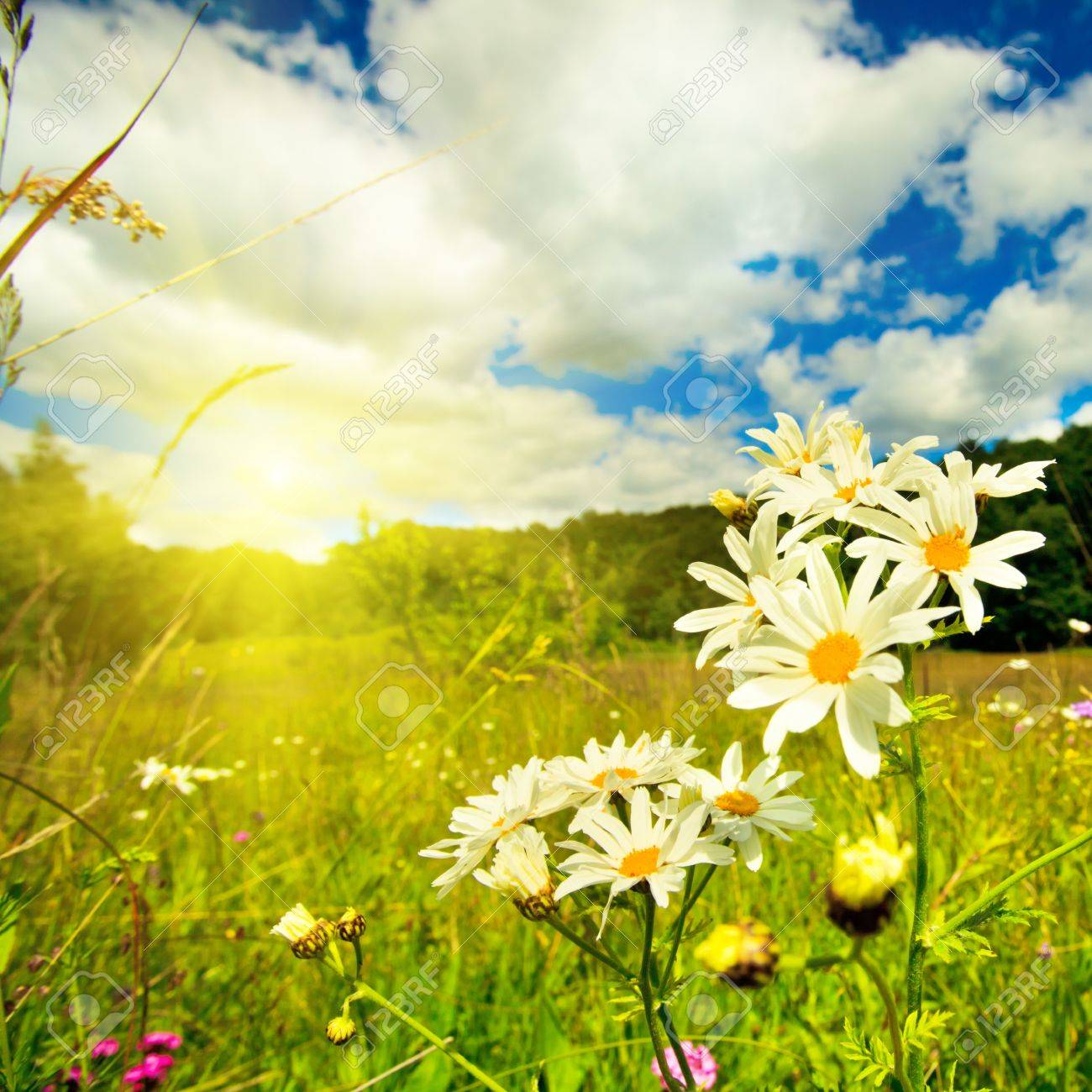 Ox-eye daisies in the meadow and deep blue sky lanscape Stock Photo - 9800899